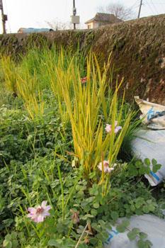 写真 真冬の蓮華草