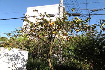 写真 わが家の柿の木