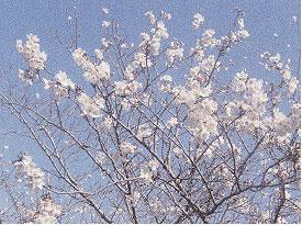 第4回 「桜を見ると思い出す」