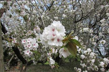 写真④結麗桜
