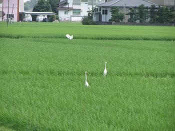 写真 青田と白鷺