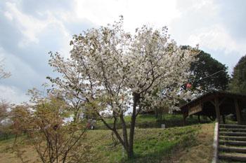 石井里山公園に咲く結麗桜