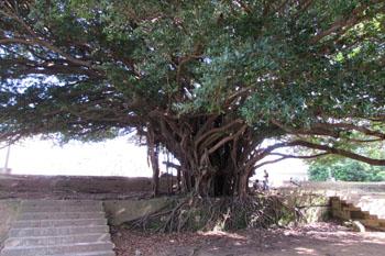 写真③ガジュマルの木