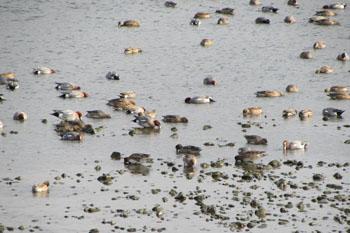 写真②青海苔を啄む鴨たち