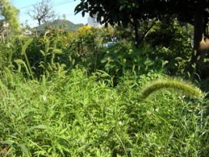 ▲伸び放題の雑草たち