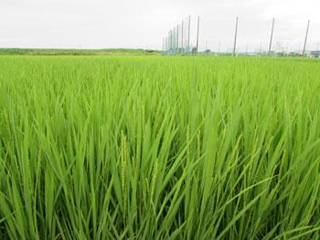 写真 色づいてきた稲