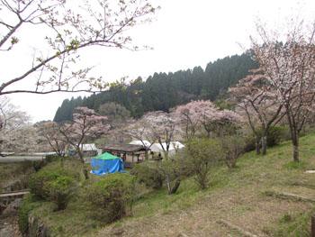 写真①高森峠の麓の桜