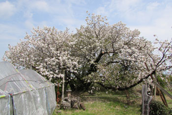 写真③満開の結麗桜