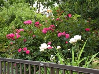 次々に咲く蔓バラ(白いのは芍薬)